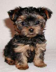2 Yorkie Puppies for Adoption