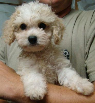 Cavachon Puppies on Cavachon Puppies Available 12 Week Sold   Dogs For Sale  Puppies For