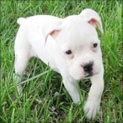 Boxer Puppy for a Good Home