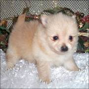 Gorgeous~Healthy Pomeranians Puppies for for X Mas