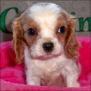 Cavalier King Charles Spaniel Puppies For Pet Lovers