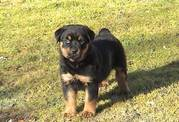 Long and Doct Tail Rottweiler Puppies for Sale