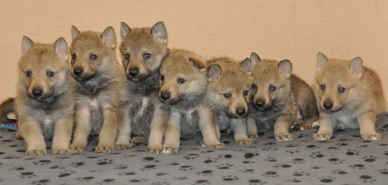 CZECHOSLOVAKIAN WOLFDOG with FCI pedigree - York - Dogs for sale