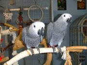 my baby African grey parrots is 5 years old